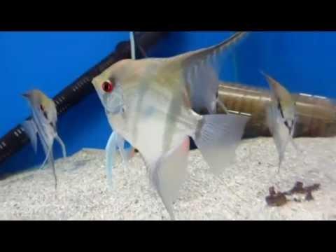 Аквариумные рыбки Скалярия - содержание!