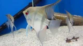Аквариумные рыбки Скалярия - содержание!(В этом кратком видео обзоре я вам расскажу о аквариумных рыбках - Скалярия! Содержание и уход! Поторопись..., 2014-11-05T17:16:01.000Z)