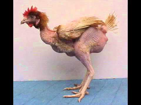 Chiste del gallo PONINAS