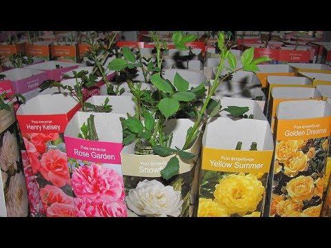 Вопрос: Удалять отросшую ветку розы или нет?