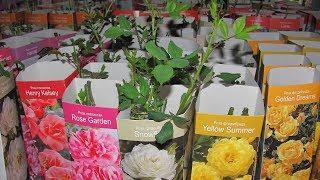Как сохранить розу из коробки