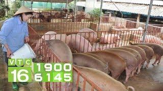 Giá lợn đạt 53.000 đồng/kg, dự báo còn tăng cao | VTC16