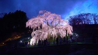 2019 三春の滝桜ライトアップ(4K) Light Up Of Miharu Weeping Cherry Blossom In Fukushima(UHD)