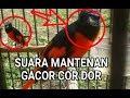 Pikat Burung Mantenan Auto Gacor  Mp3 - Mp4 Download