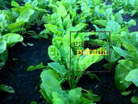 Как правильно выращивать буряк/свеклу (сколько раз можно его трогать)
