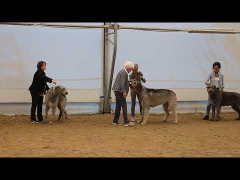 Dogs Open class Irish Wolfhound