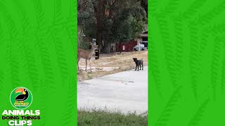 Dog Scares Off Some Deer   Animals Doing Things Clips