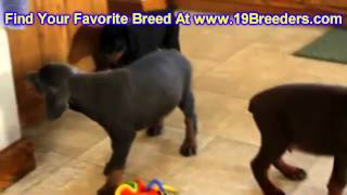 Doberman Pinscher, Puppies, For, Sale, In, Edmond, Oklahoma, Ok, Cleveland, Comanche, Canadian, Roge