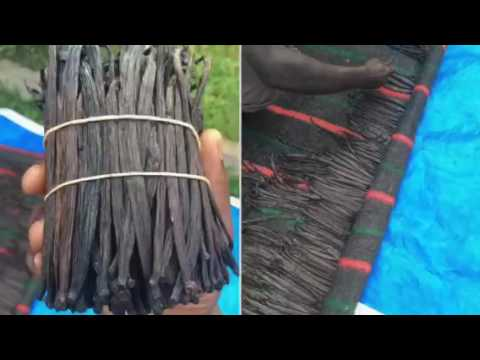 Vanilla Curing - Drying ; africaug.com