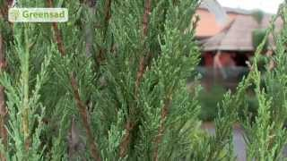 видео Хвойные растения в ландшафтном дизайне: идеи для дачи