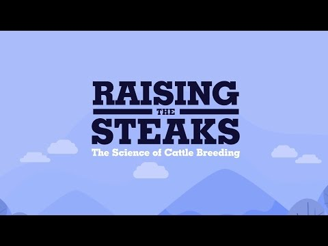 Raising the steaks – the science of cattle breeding.