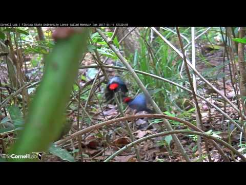 Frenzied Lance-tailed Manakin Displays and Successful Copulation, April 19, 2017 - 동영상