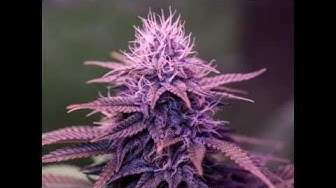 BlackJack (Nirvana) from seed to harvest in pictures