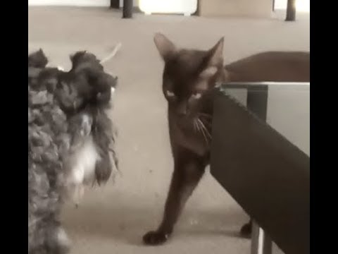 Evil Cat Terrorizes Dog