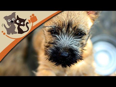 Cairn Terrier - Kleine Kobolde mit groem Talent