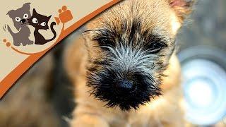 Cairn Terrier - Kleine Kobolde Mit Großem Talent