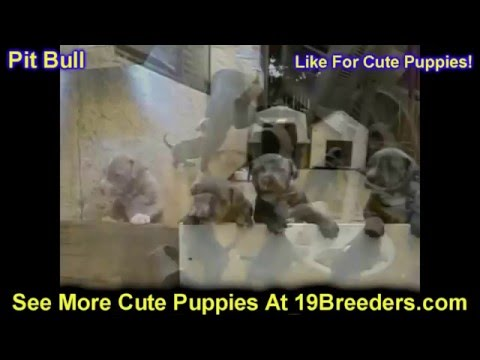 Pitbull, Puppies, Dogs, For Sale, In Raleigh, North Carolina, NC, Durham, Greenville, Wilson