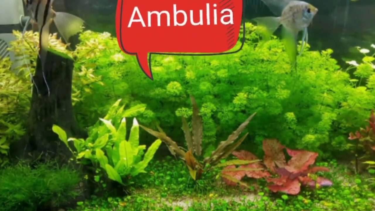 Ambulia gu a de plantas para acuarios 1 youtube for Plantas de acuario