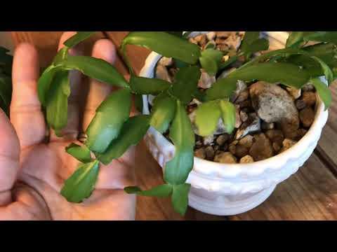 ????catus de navidad catus de bosque cactus santa Teresita como cuidar esta  planta