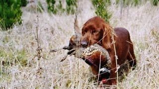 Охота на фазана с сеттерами в Новой Зеландии