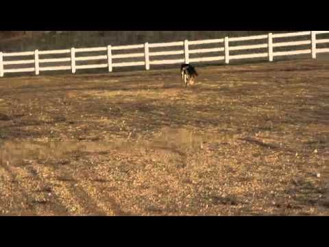 German Shepherd learning the  wait command Aggressive dog training San Diego