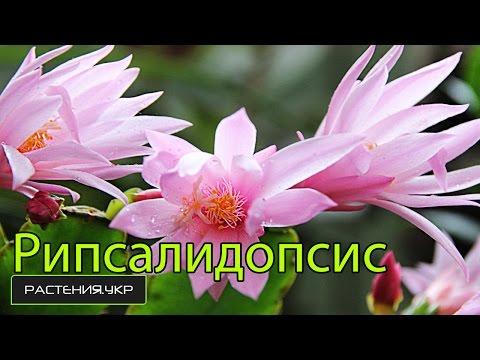 Как отличить рипсалидопсис от шлюмбергеры? / цветок декабрист