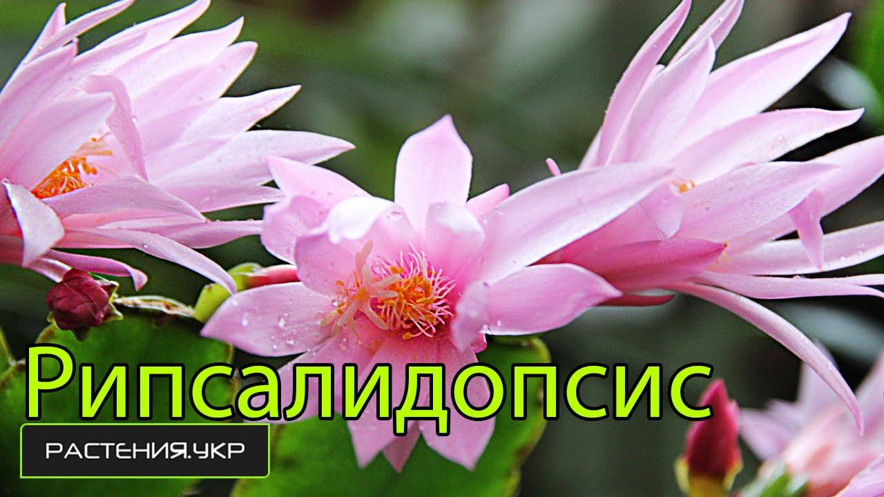 Как отличить рипсалидопсис от шлюмбергеры? / цветок декабрист .