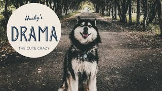 Dramatic Husky's Behaviour |  Husky Puppy Compilation | Siberian Huskies