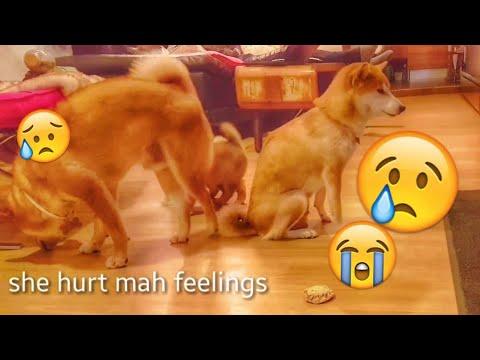 Mom hurt Daddo's feelings 💔 MLIP / Ep 53 / Shiba Inu puppies