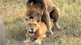 Big Cats Mating   Lion Tiger Jaguar LOVE