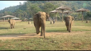 Herd Run To Greeting After Arrival Of Two Rescued Elephants Kham Moon And Pyi Mai - ElephantNews