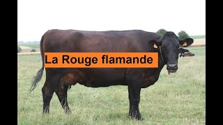 la race bovine Rouge-Flamande