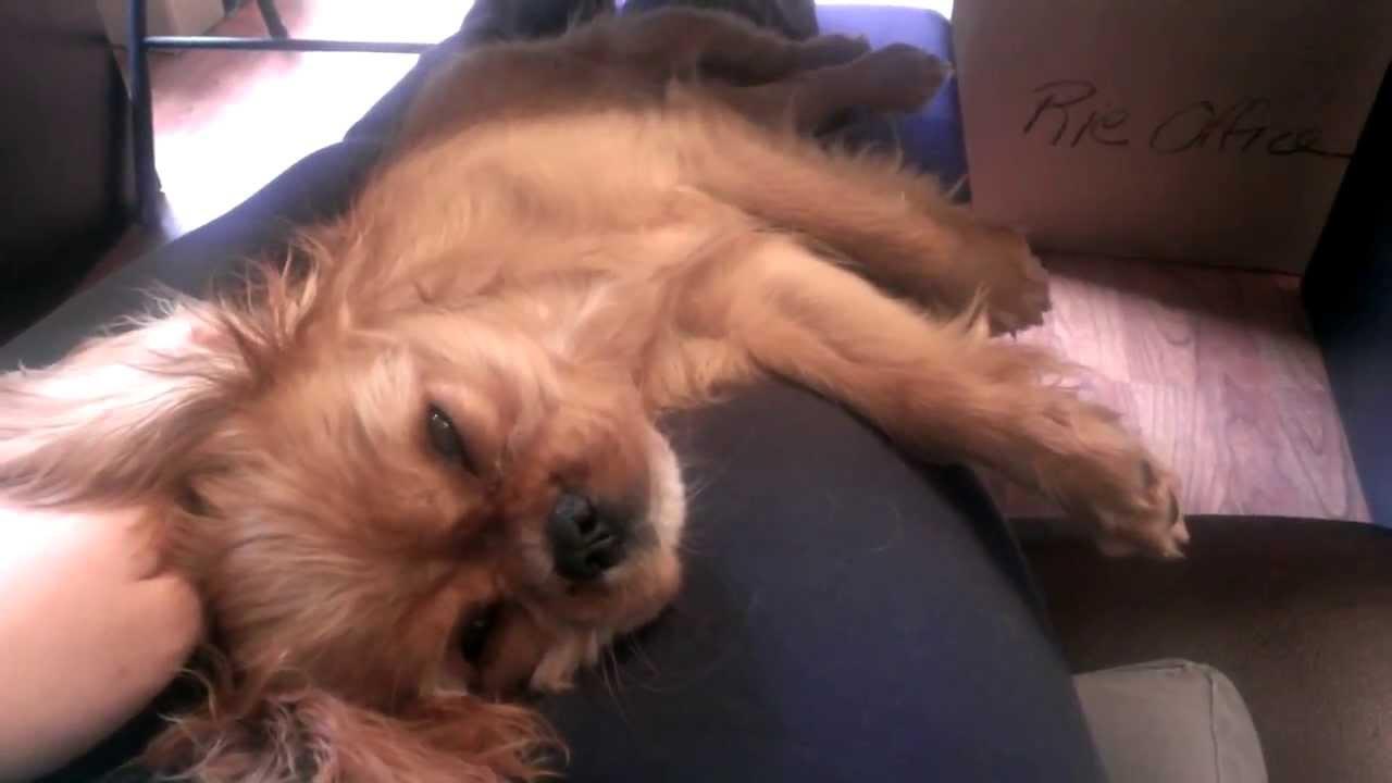 Yuzu Ruby Cavalier King Charles Spaniel Puppy Sleeping On My Lap
