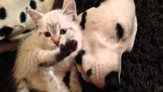 Kitten Cuddles With Sleepy Dalmatians