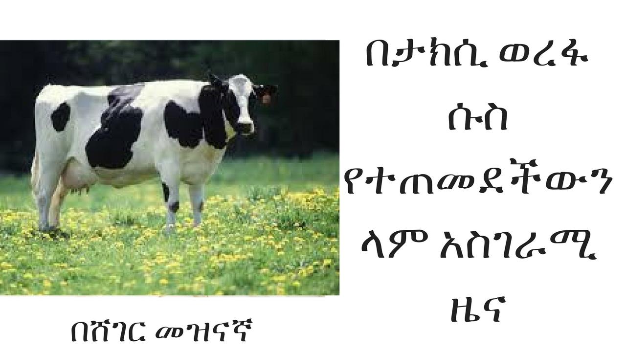 ETHIOPIA - Cow Addicted with Addis's Taxi Queue
