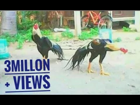 Parrot beak long tail visit a amazing asil birds must watch part 2