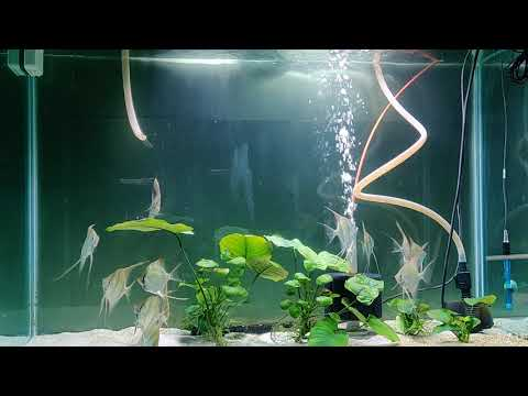 update-on-tank-raised-rio-orinoco-altum-angel-fish-eating-royal-menu-size-xl