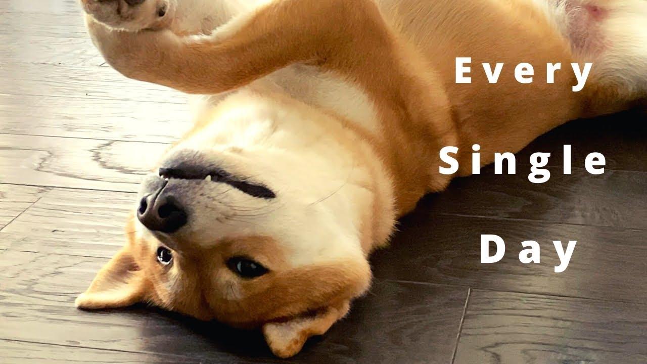 Every Single Day [Life with Shiba Inu] | Jimmy the Shiba