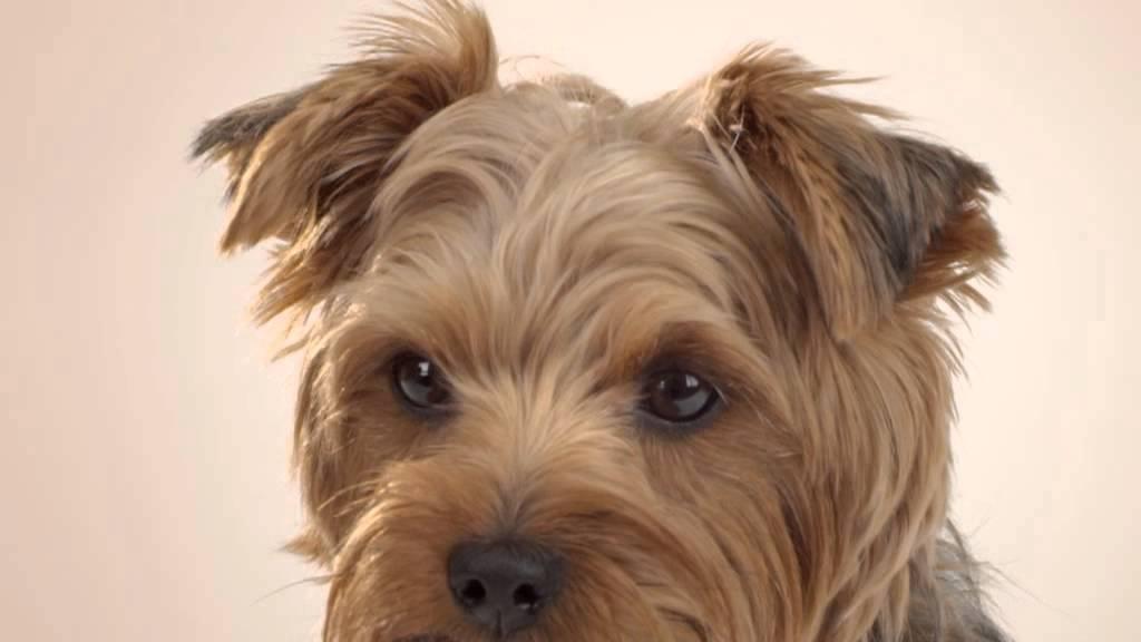 Perros Adultos De Pelo Corto Perros Razas Pequeñas