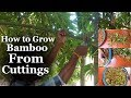 How to Grow Bamboo from Cuttings at Home | Bamboo Growing Easy Tips | Bamboo care | Green Bamboo