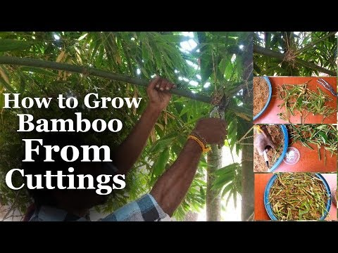Growing Bamboo From Cuttings