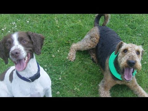 Airedale Jorgie jumps over Springer Spaniel Alfie at A & B Dogs Boarding & Training Kennels.