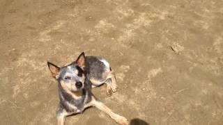 この犬種、ご存知ですか?? ※体などの白い毛は、白髪ではないんですよ...