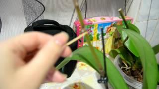 Цитокининовая паста.Обрабатываю спящие почки.Размножение орхидеи.(В этом видео я буду наносить цитокининовую пасту на почки орхидей и наблюдать ,что будет расти., 2016-10-05T15:40:11.000Z)