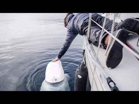 Friendly beluga whale wanted to say hello & get petted [ep7]