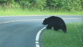 Black bear, Shenandoah NP, VA