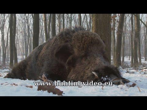 Driven Wild Boar Hunt In Hungary January 2017