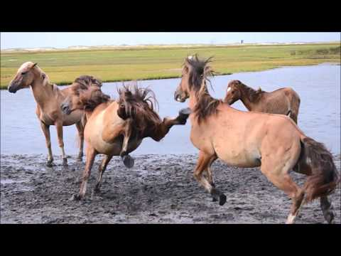 Rachel Carson Wild Horses Fighting