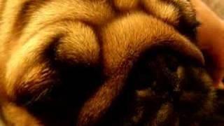 Pug Noises