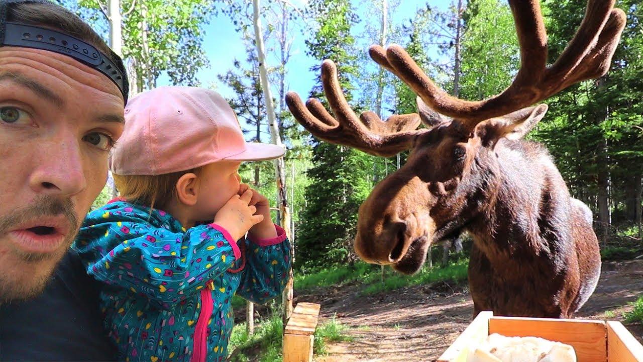 wild-moose-encounter-we-got-too-close